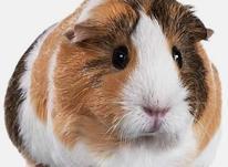 خوکچه هندی در شیپور-عکس کوچک