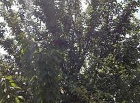 باغ میوه 1000 متری در شیپور-عکس کوچک