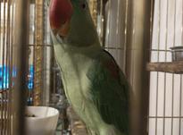 شاه طوطی 8 ماهه در شیپور-عکس کوچک