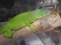 ایگوآنا.سبز رنگ در شیپور-عکس کوچک