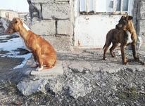 پیتبول(پیت بول) 4 ماه اصیل و ذات دار در شیپور-عکس کوچک