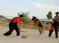 آموزش تربیت سگ نگهبان در شیپور-عکس کوچک