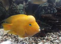 دو تا ماهی بزرگ و زیبا در شیپور-عکس کوچک