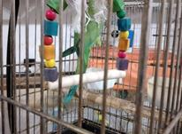 طوطی ملنگو  در شیپور-عکس کوچک
