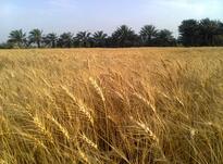 نخلستان و زمین کشاورزی در شیپور-عکس کوچک