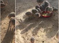 جوجه شترمرغ در شیپور-عکس کوچک