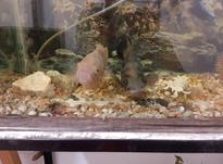 دو عدد ماهی اسکار و یک ماهی فنکوسه در شیپور-عکس کوچک