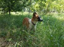 سگ اشپیتز خاص در شیپور-عکس کوچک