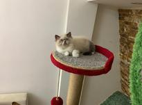 پانسیون و نگهداری گربه در شیپور-عکس کوچک