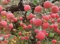 باغ میوه بارده  درختان هلو سیب بادام و انگور 18000 متر  در شیپور-عکس کوچک