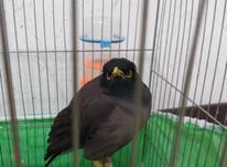 مرغ میناهمراه با قفس  در شیپور-عکس کوچک