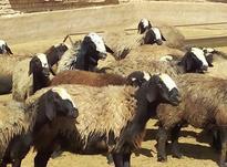 قصاب سلاخ گوسفند زنده گوساله خریدار پوست  در شیپور-عکس کوچک