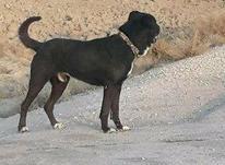 سگ سرابی گله و نگهبان  در شیپور-عکس کوچک