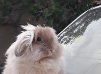 فروش خرگوش لوپ اکراینی در شیپور-عکس کوچک