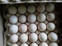 فروش تخم بوقلمون برنز انگلیس تضمینی در شیپور-عکس کوچک