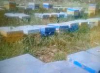 فژوش زنبور با ضمانت برداشت عسل دوبرابر پول پرداختی در شیپور-عکس کوچک
