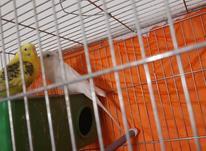 فروش یک جفت مرغ عشق مولد در شیپور-عکس کوچک