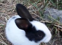 بچه خرگوش زیبا در شیپور-عکس کوچک