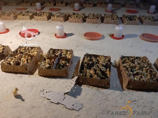 فروش فوق العاده جوجه اردک از يک روزگی تا کشتار در گروه خرید و فروش ورزش فرهنگ فراغت در گیلان در شیپور-عکس1