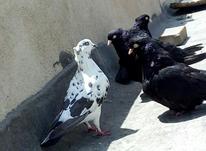 جایی برای نگهداری کبوتر در شیپور-عکس کوچک