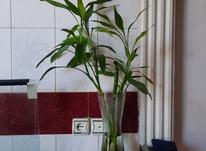 4 شاخه بامبو با گلدون یه جا  در شیپور-عکس کوچک
