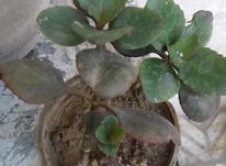 5 عدد گلدان گل قاشقی خوب بفروش میرسد  در شیپور-عکس کوچک