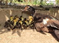 فروش جوجه اردک خارجی در شیپور-عکس کوچک