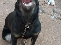 سگ دوبرمن اصل.ماده.یکسال4ماهه در شیپور-عکس کوچک