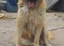 سگ سراب افغان ماده در شیپور-عکس کوچک
