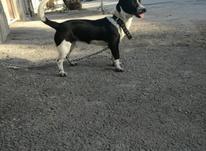 سگ فروشي ماده  در شیپور-عکس کوچک