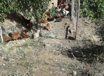 فروش مرغ و خروس محلی در شیپور-عکس کوچک