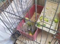 مرغ عشق تخم گذار  در شیپور-عکس کوچک