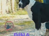 سگ آلابای ماده با استایلی قوی و قدرتمند  در شیپور-عکس کوچک