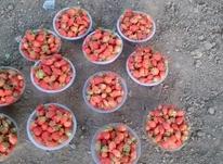 فروش توت فرنگی طبیعی درارومیه در شیپور-عکس کوچک
