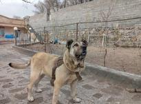 سگ سرابی فروشی در شیپور-عکس کوچک