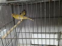 قناری جفت نر و مادا در شیپور-عکس کوچک