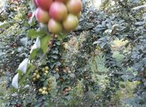 فروش میوه به صورت سر درختی  در شیپور-عکس کوچک