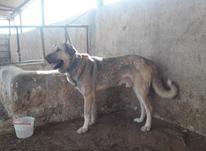 سگ پژدر عراقی اصیل  در شیپور-عکس کوچک