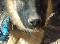 سگ ماده لوکا در شیپور-عکس کوچک