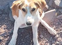 توله سگ 2ماهه برای فروش   در شیپور-عکس کوچک