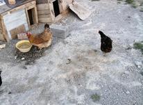 مرغ ترکمنی تخم گذار در شیپور-عکس کوچک