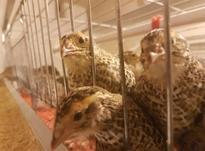 بلدرچین بالغ 60 روزه تخمگذار در شیپور-عکس کوچک