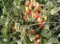 نیارمند یک دسته کاگر ماهر برای برداشت گوجه روزانه در شیپور-عکس کوچک