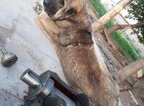 سگ عراقی خالص در شیپور-عکس کوچک