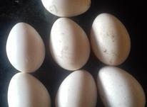 تخم بوغلمون نطفه دار در شیپور-عکس کوچک