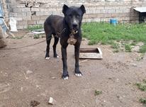 سگ سرابی خوب درشت در شیپور-عکس کوچک