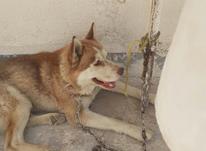 سگ هاسگی خانگی در شیپور-عکس کوچک