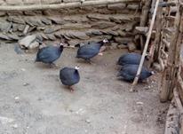 فروش مرغ شاخدار یا مروارید  در شیپور-عکس کوچک