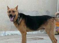 سگ ژرمن ورک لاین  در شیپور-عکس کوچک