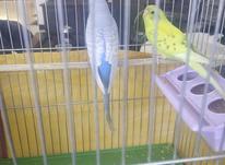جفت مرغ عشق خوش صدا  در شیپور-عکس کوچک